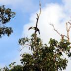 Weißbrusttukan (Ramphastos tucanus) bei Cauxi